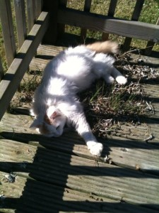 Psycho Cat, lying on the decking in the sunlight