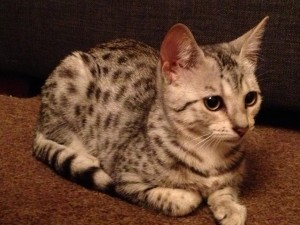 Cleo, the Egyptian Mau
