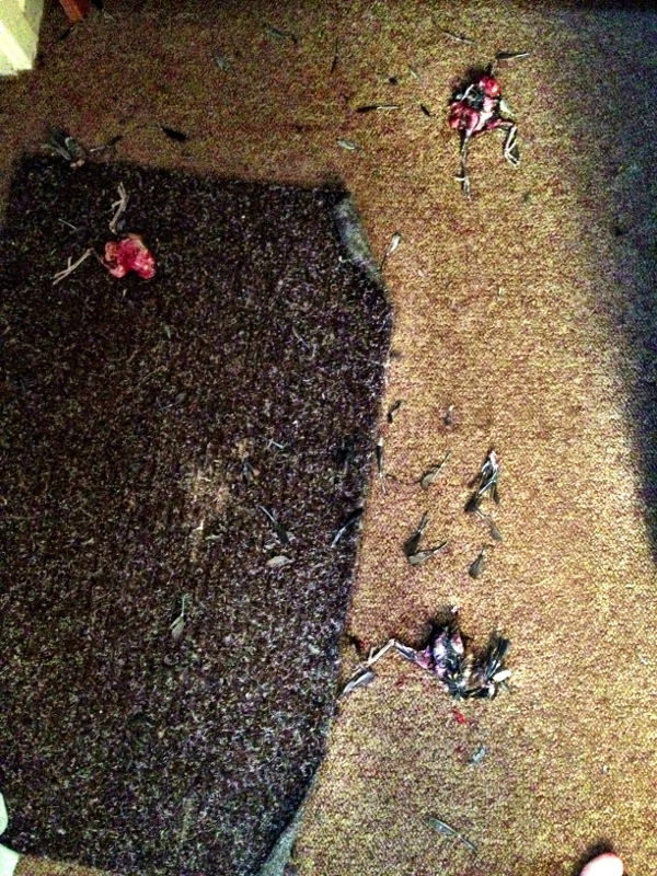Three bird corpses on a doormat