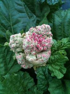 Flower from Rhubarb