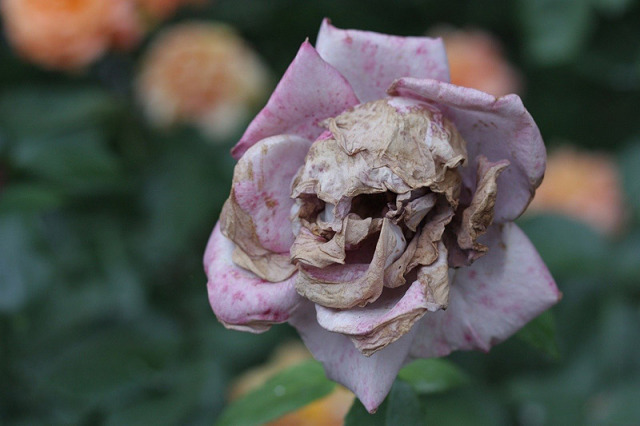 Rose with a skull in it